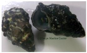 black snails 32
