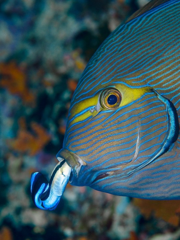 blue wrasse mouth.jpg